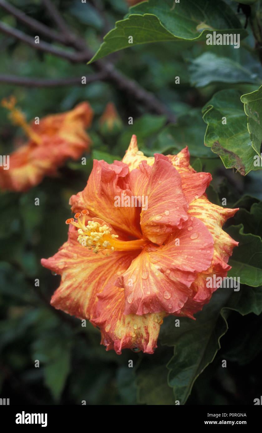 ORANGE AND YELLOW HIBISCUS ROSA-SINENSIS WITH RAIN DROPS - Stock Image
