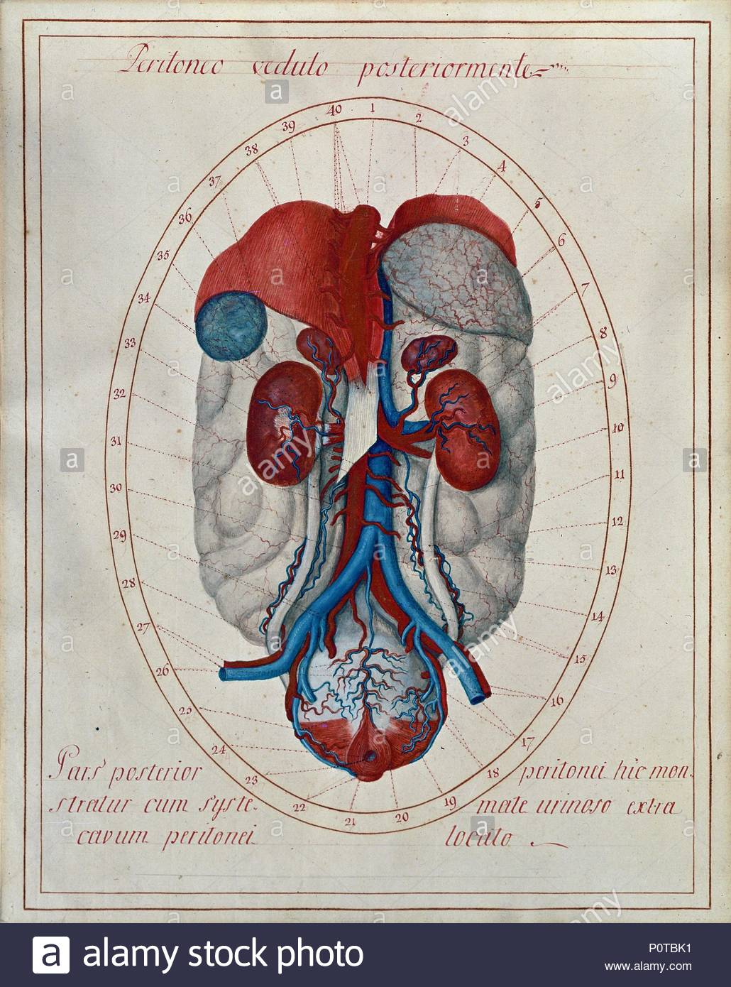 Retroperitonic Organs Diaphragm Spleen Kidneys And Their Blood
