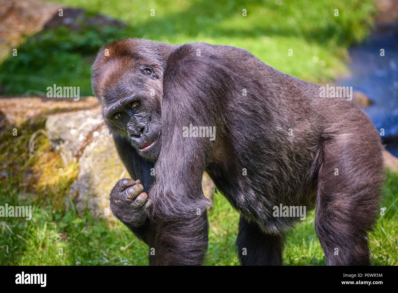Portrait Of A Big Western Lowland Gorilla