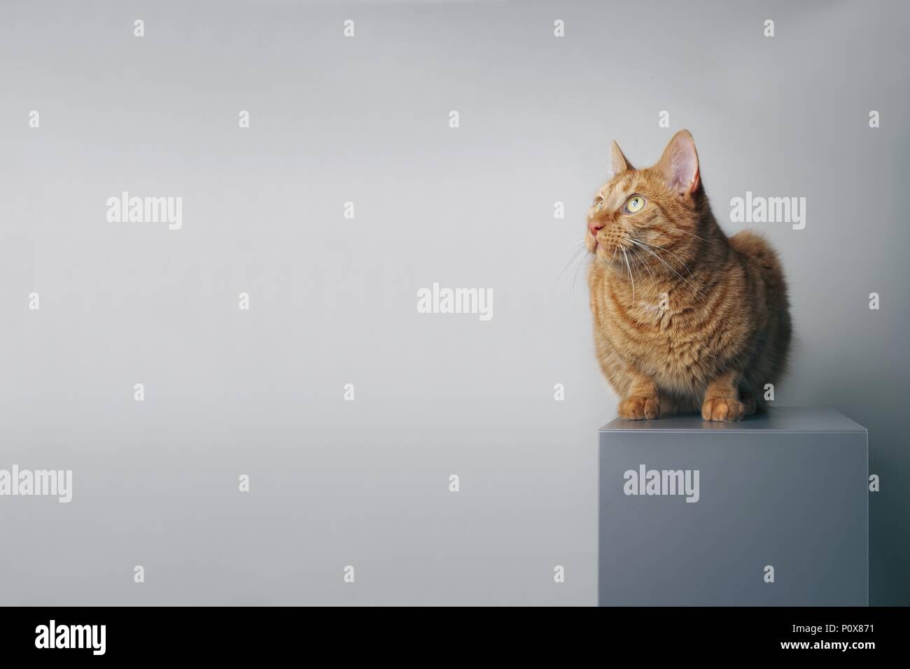 Ginger cat sitting on a grey box and looking sideways - isolated on grey backlground. - Stock Image