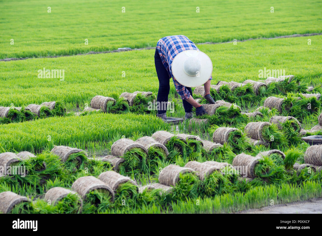 Nantong China S Jiangsu Province 10th June 2018 A Farmer Works In The Rice Fields In Hai An City East China S Jiangsu Province June 10 2018 Farmers Are Busy With Farm Work On The