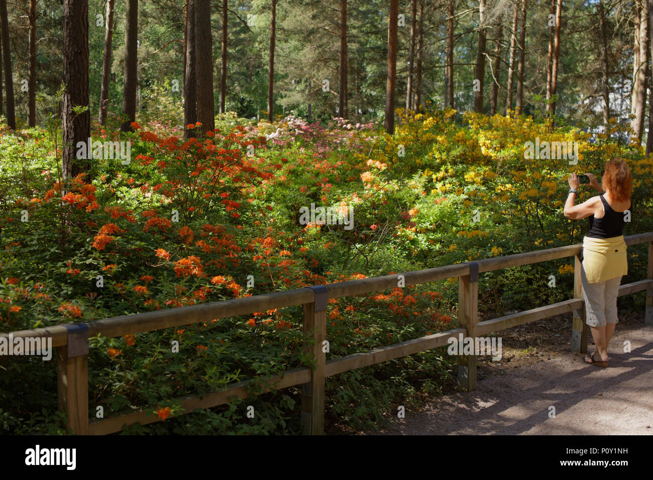 Helsinki, Finland, 10th June, 2018. People walking and make photos of azaleas in Haaga Rhododendron Park. The park is created by Helsinki university as the experimental site Credit: StockphotoVideo/Alamy Live News - Stock Image