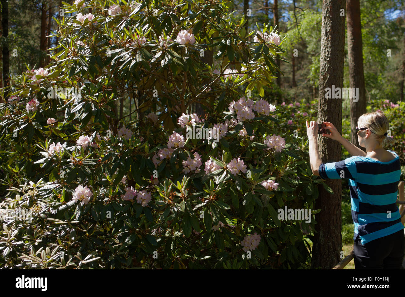 Helsinki, Finland, 10th June, 2018. People walking and make photos in Haaga Rhododendron Park. The park is created by Helsinki university as the experimental site Credit: StockphotoVideo/Alamy Live News - Stock Image