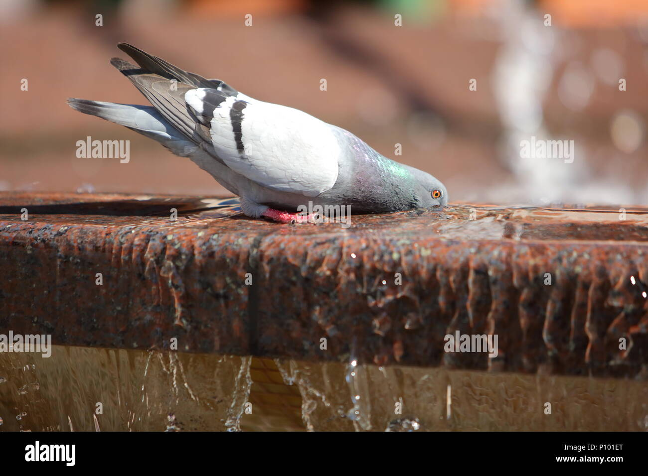 A thirsty pigeon quenches thirst in an urban fountain. - Stock Image