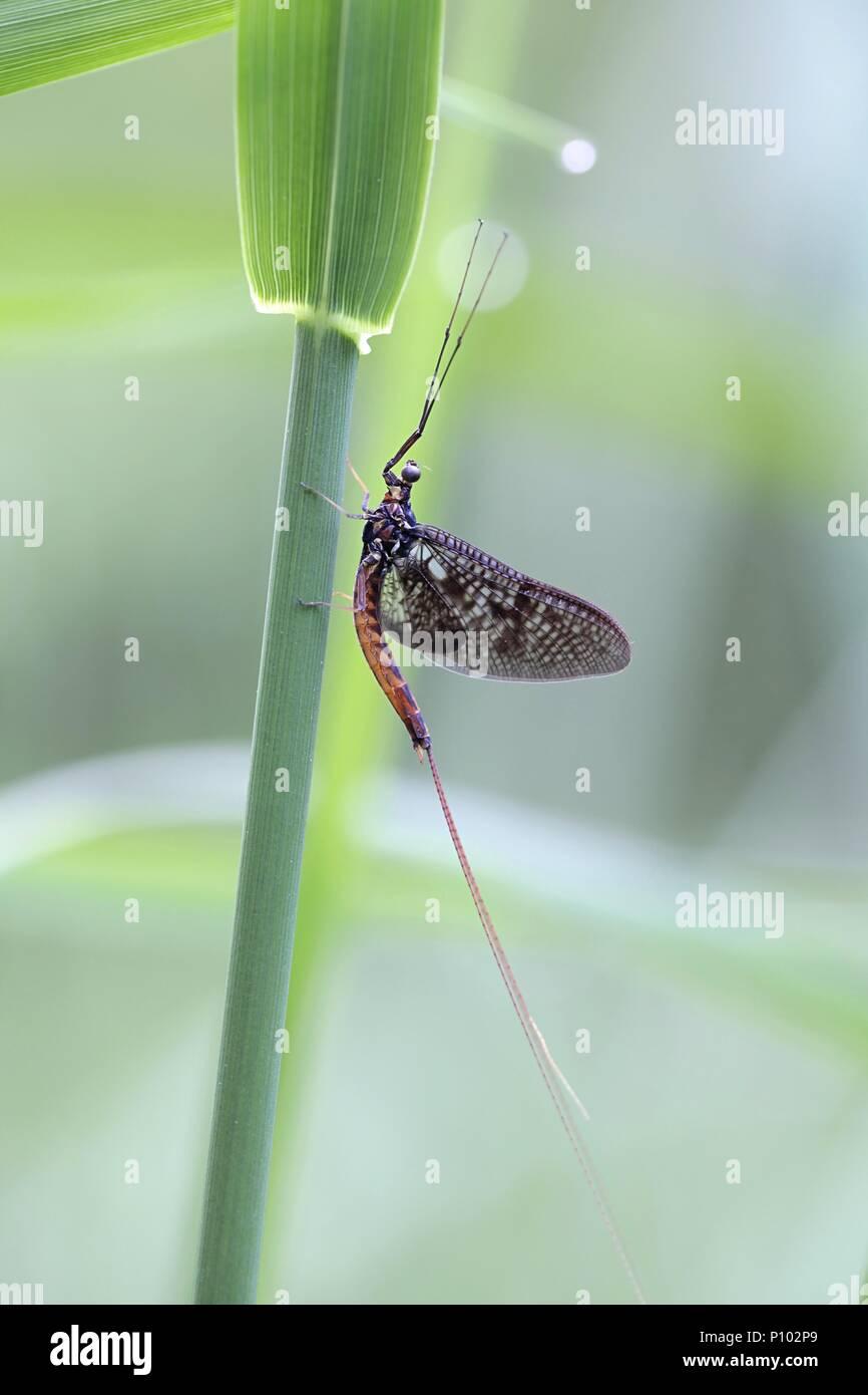 Common mayfly, also called shadly and fishfly, Ephemera,vulgata - Stock Image