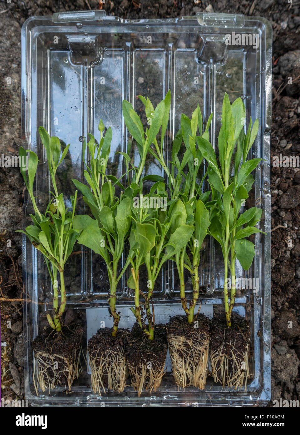 Five seedlings of Osterspermum 'Serenity Red' (= 'Balsered'), in its plastic postal container, ready to be planted out in a garden. - Stock Image