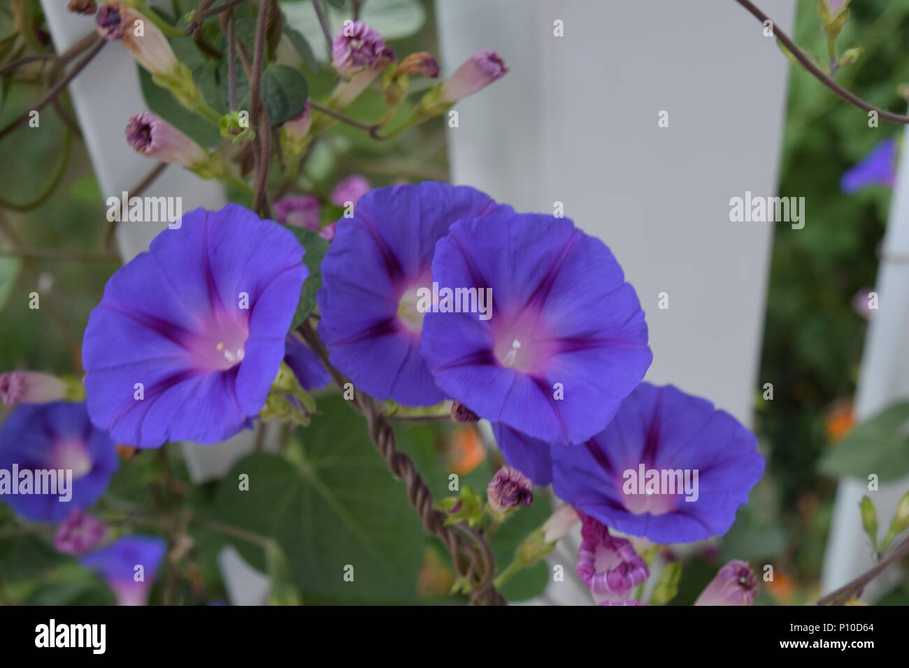 A cluster of morning glories in the early morning. - Stock Image