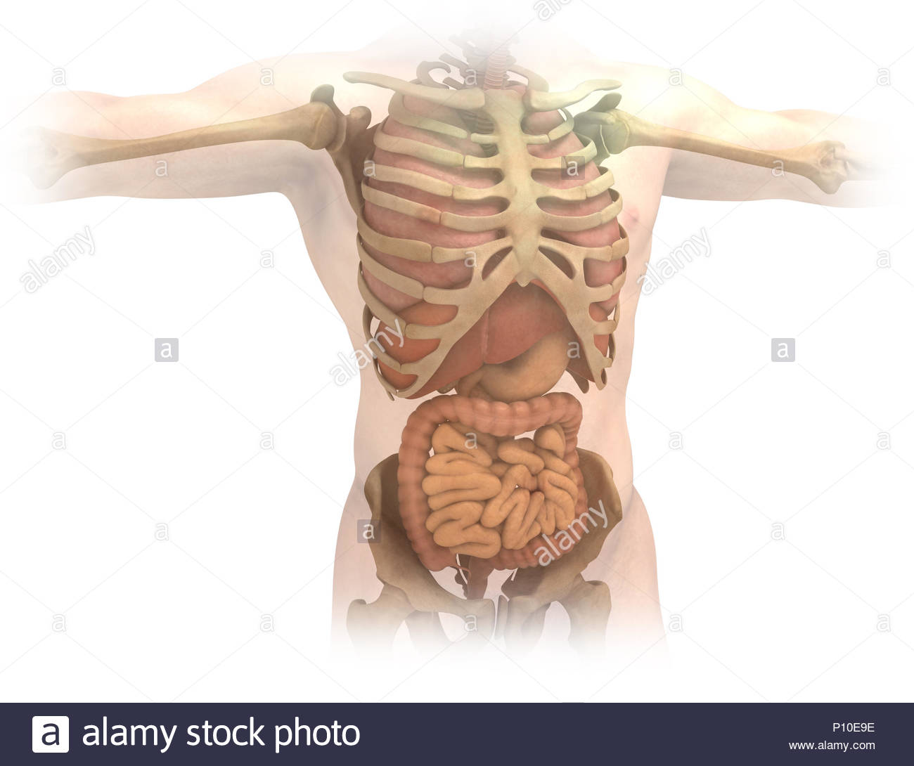 Organs And Skeleton Of The Trunk Stock Photo 207150314 Alamy