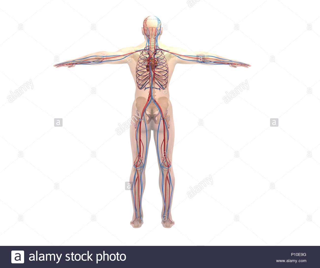 Dorsal Artery Stock Photos & Dorsal Artery Stock Images - Alamy