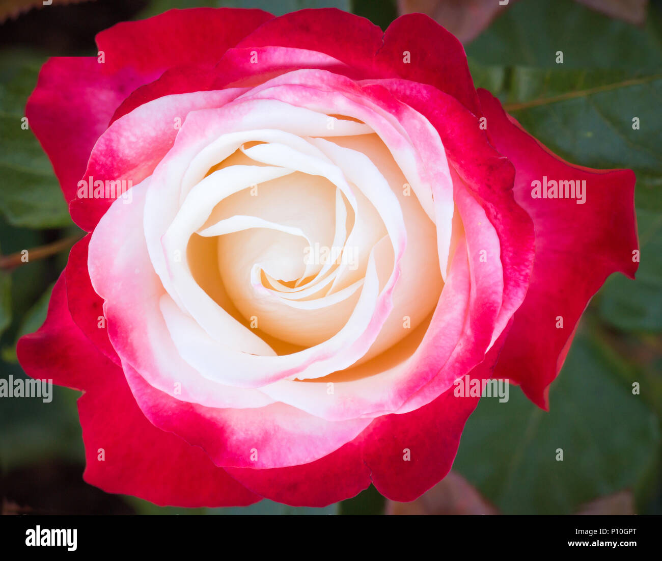 Beautiful delicate of roses flower, rose garden blooming in