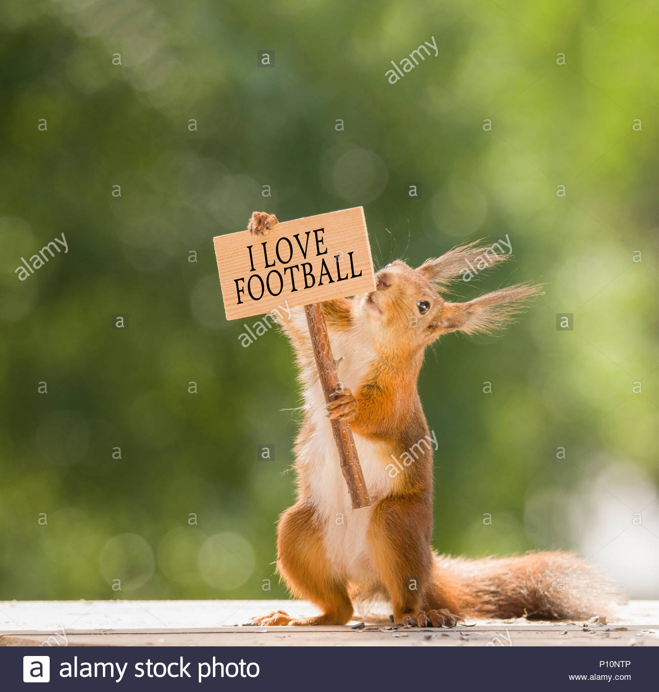 red squirrel holding a football sign - Stock Image