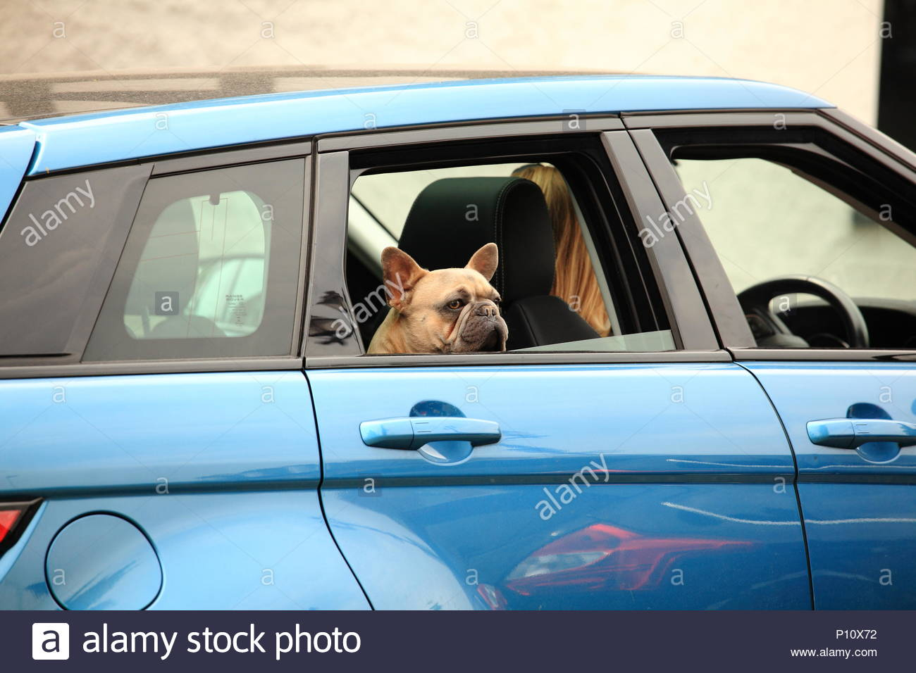 A Dog Riding On The Back Seat Of A Range Rover Car With Its Head Out Of The Window Knutsford Cheshire England Summer June 2018 - Stock Image