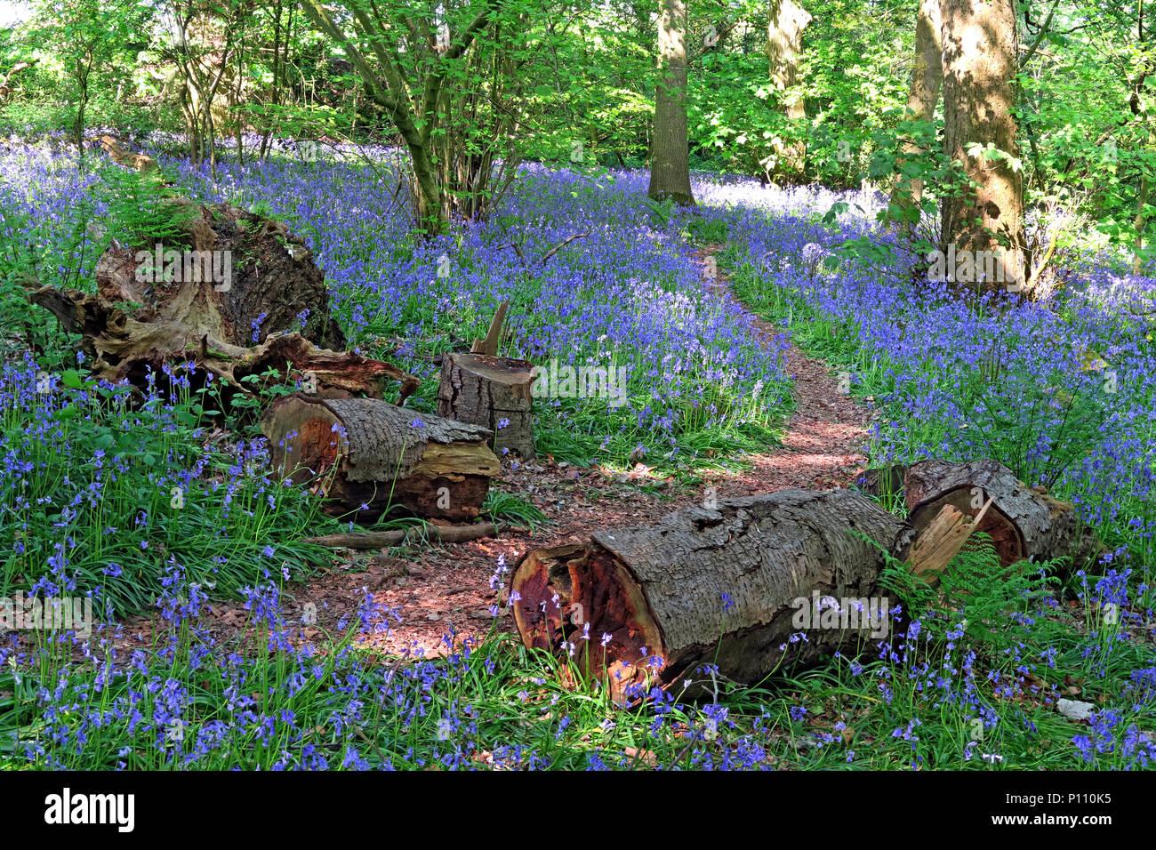 English Bluebell Wood in spring, Cheshire, England, UK - Stock Image