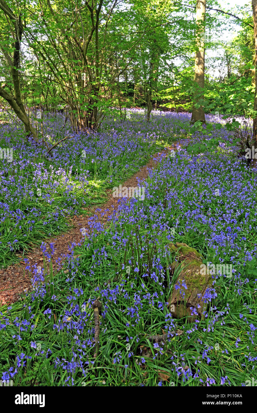 English Bluebell Wood in spring, Cheshire, England, UK Stock Photo