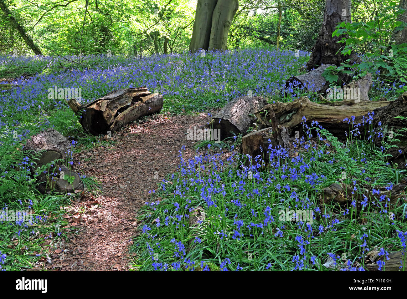 English Bluebell Wood in spring, Cheshire, England, UK - Stock Image