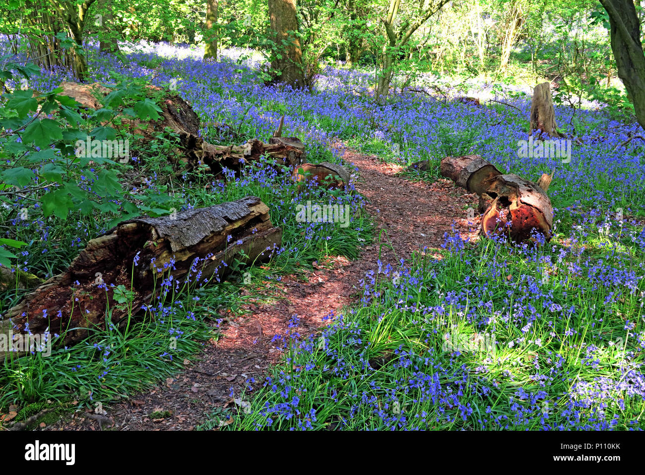 English Bluebell Wood in spring, Cheshire, England, UK Stock Photo