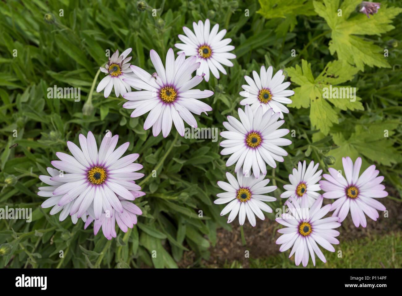 Daisy Type Flowers Osteospermum Plants Perennial Plant Stock Photo