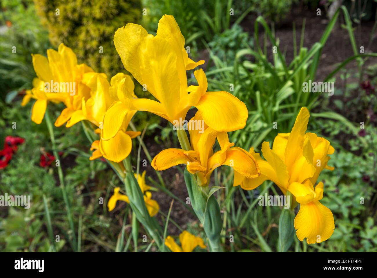 Iris pseudacorus yellow iris Iridaceae Yellow Flag - Stock Image