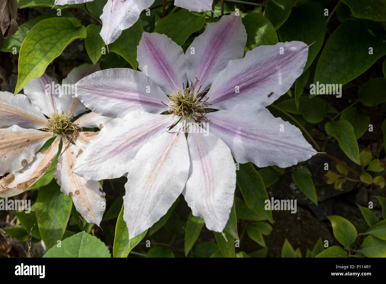 Clematis white flowers ranunculaceae stock photo 207164805 alamy clematis white flowers ranunculaceae mightylinksfo