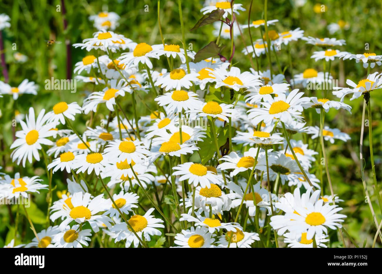 Oxeye daisies (Leucanthemum vulgare) growing in a park in Summer (June) in the UK. Stock Photo