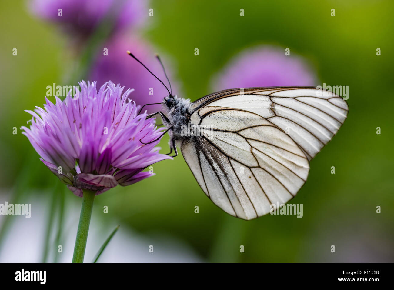 Black veined White butterlfy sitting on a flower of a chive - Stock Image