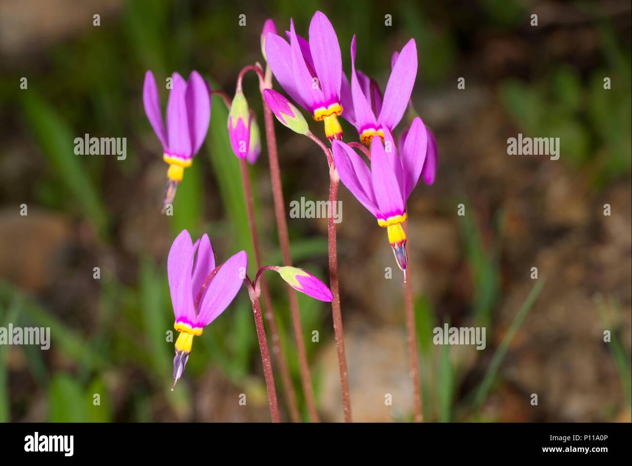 Dodecatheon pulchellum - Stock Image