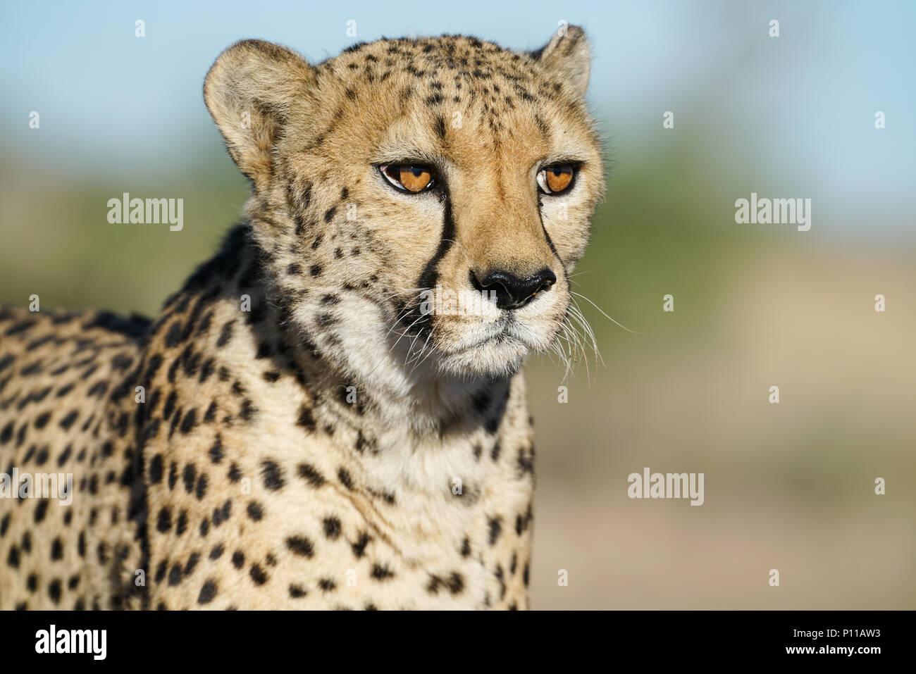 Cheetah in Namibia - Stock Image