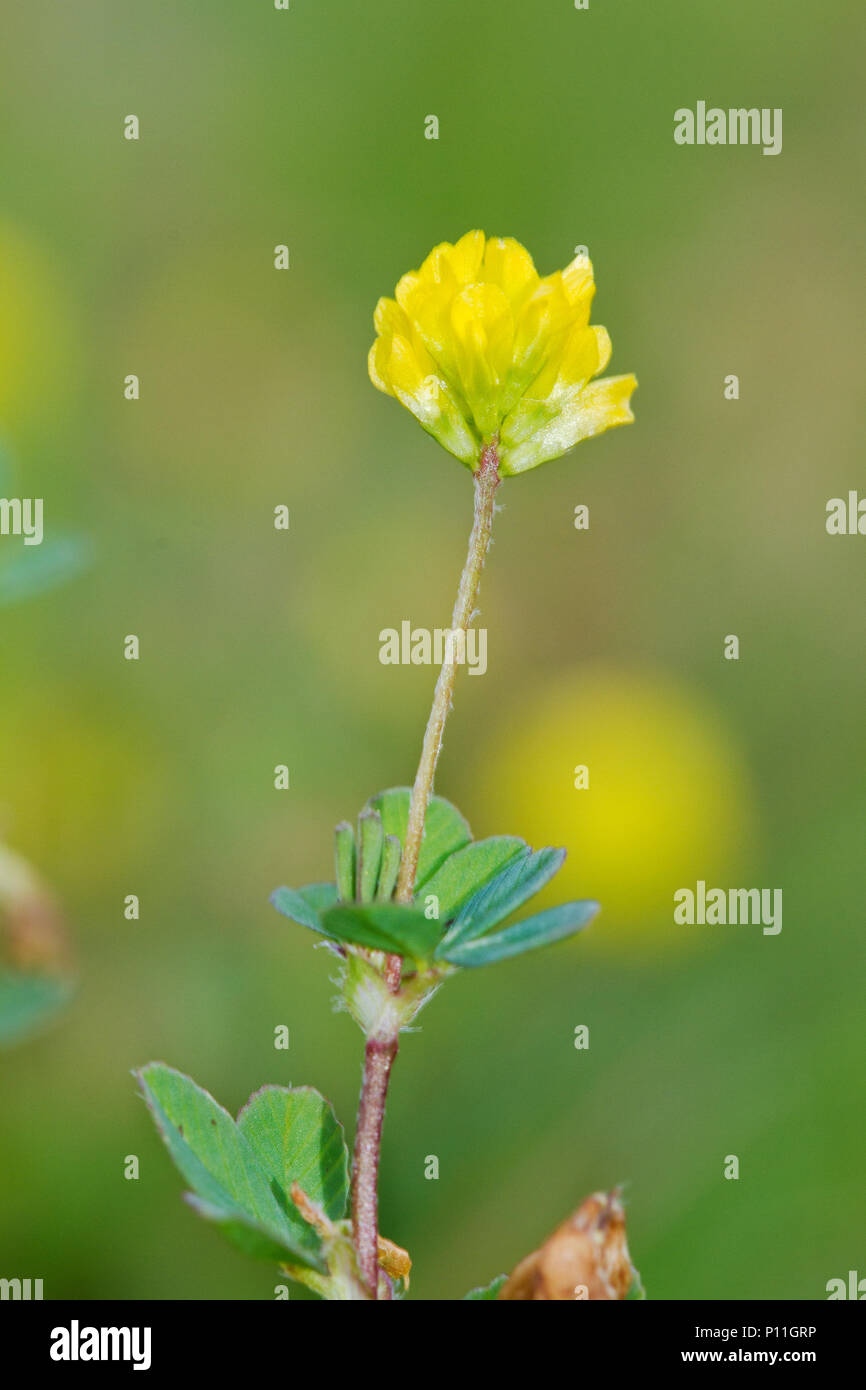 Yellow clover flower stock photos yellow clover flower stock yellow flowers of lesser trefoil also known as suckling clover or little hop clover mightylinksfo