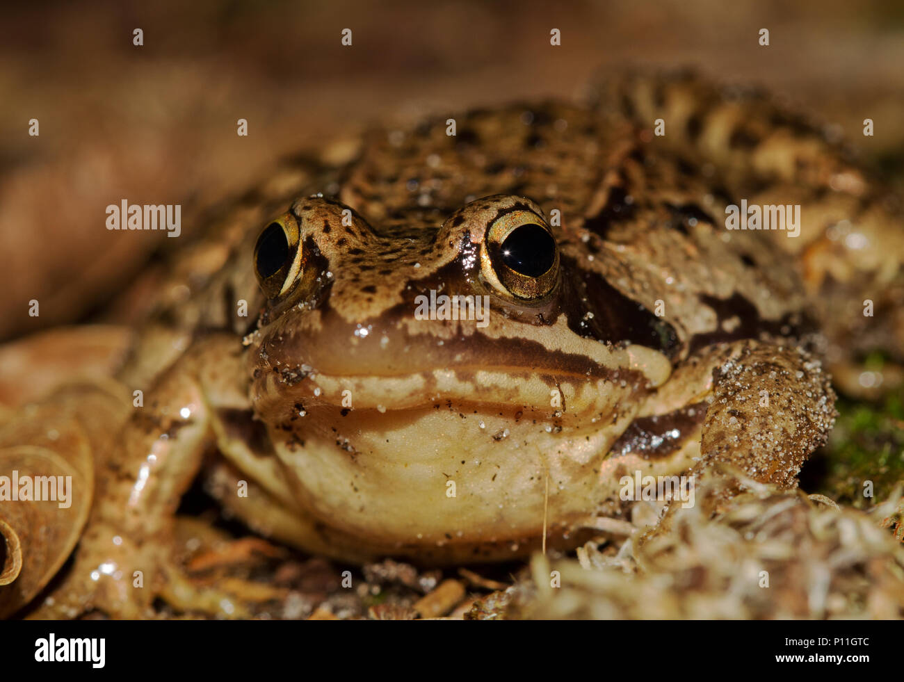 Close-up of a Moor frog, Rana arvalis - Stock Image