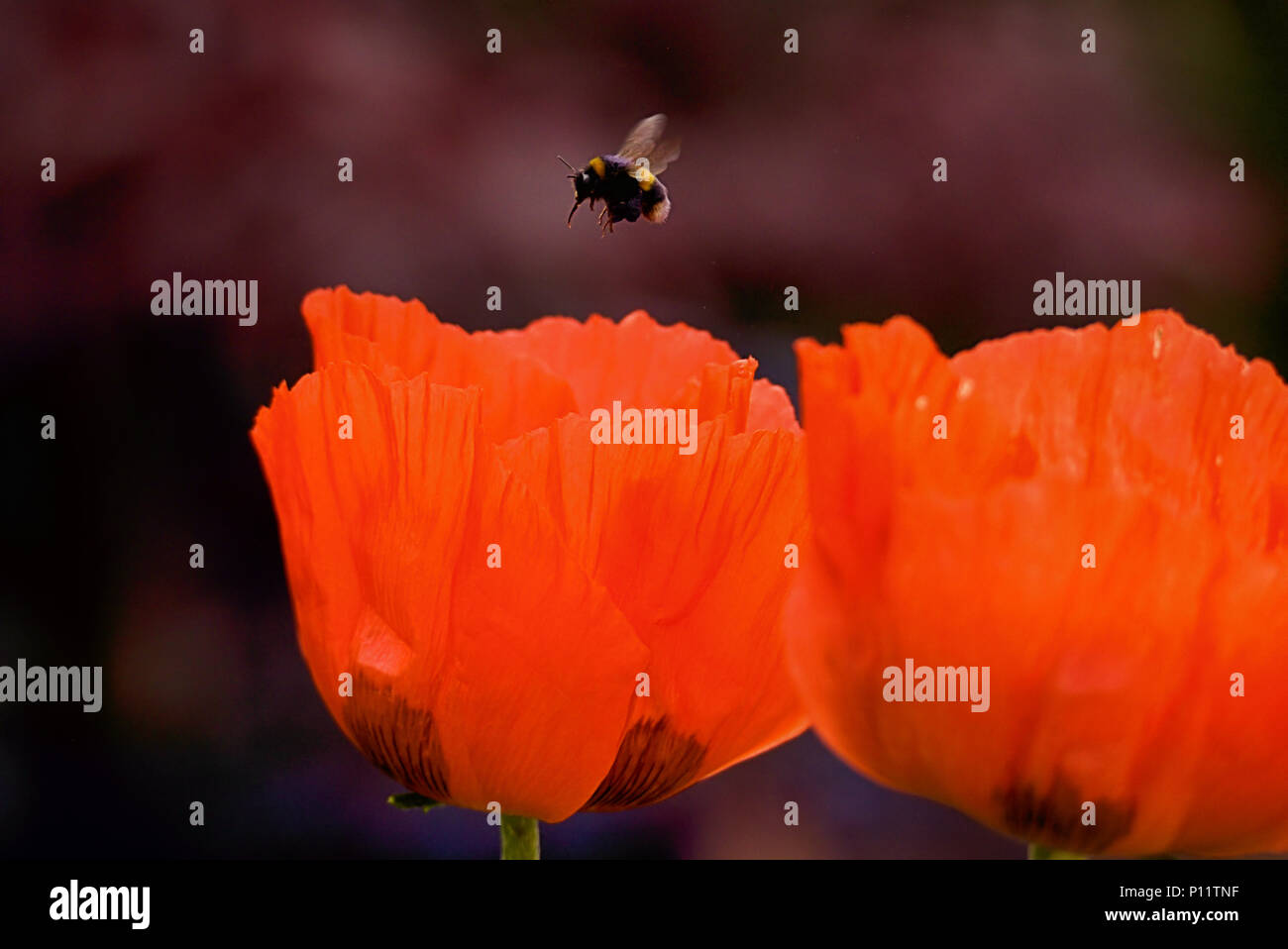 Honey bee tongue stock photos honey bee tongue stock images alamy a bumble bee hovering over a poppy flower stock image izmirmasajfo