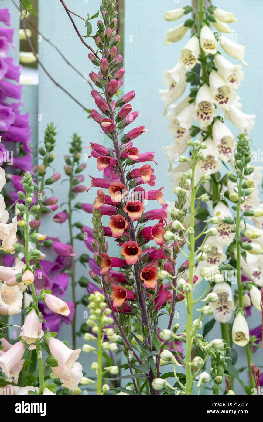 Digitalis hybrida Foxlight 'Ruby glow'. Foxglove Foxlight 'Ruby glow' on a display at a flower show. UK - Stock Image
