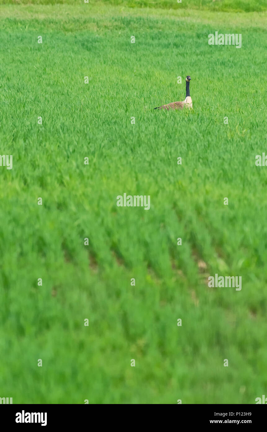 Canada Goose in Green Field - Stock Image