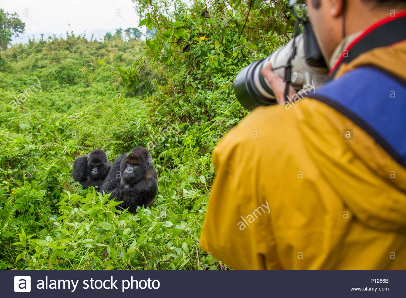 A tourist photographing an engdangered Mountain Gorilla in Volcanoes National Park Rwanda - Stock Image