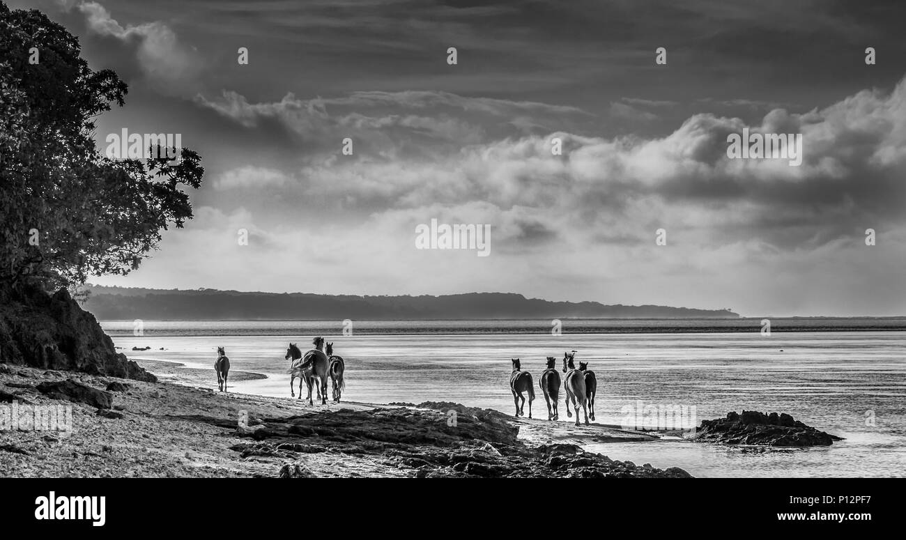 Wild horses running on the beach, Coral Coast, Viti Levu, Fiji - Stock Image
