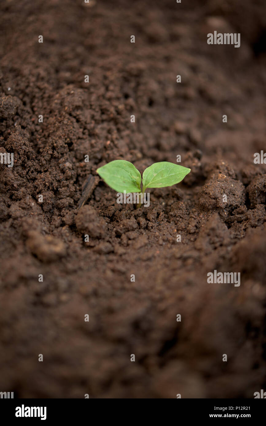 One young plant in a dirty soil Stock Photo