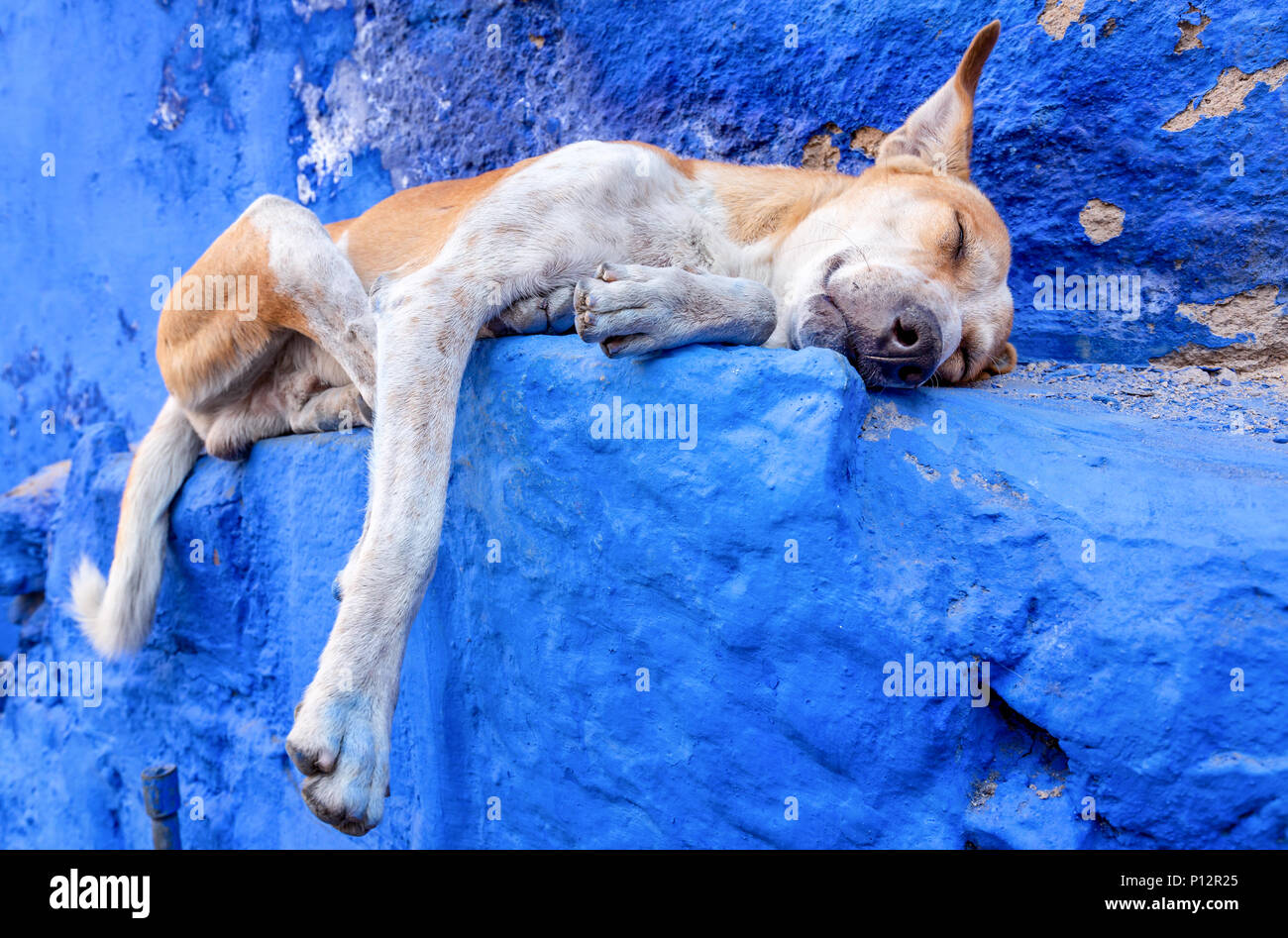 Dog resting in the blue city of Jodhpur, Rajasthan, India - Stock Image