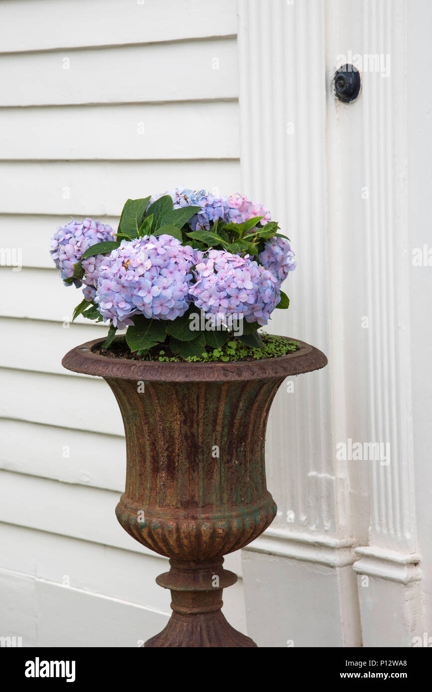 Hydrangeas outside a front door in Essex, Connecticut - Stock Image