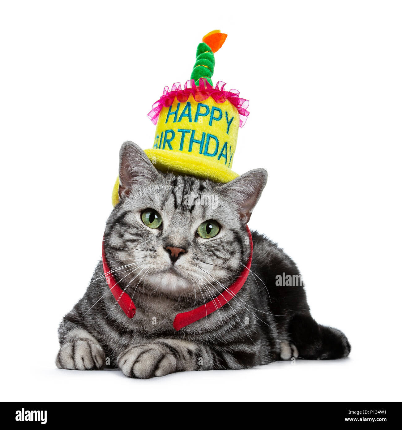 Handsome Black Tabby British Shorthair Cat With Green Laying Down Wearing A Yellow Happy Birthday Hat Isolated On White Background
