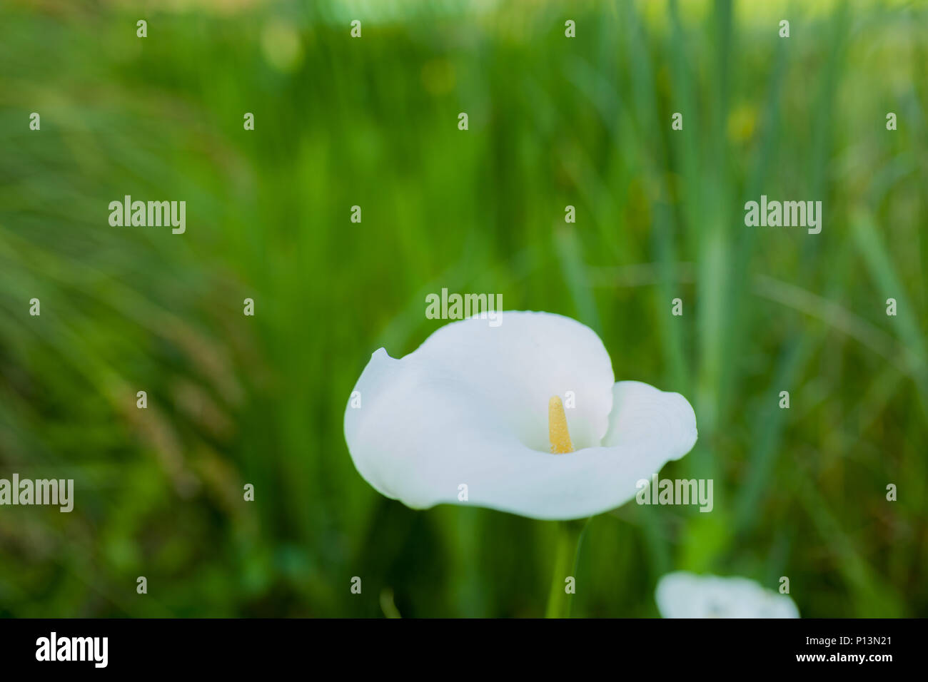 Wild delicate white calla lily flower with yellow stamen stock photo wild delicate white calla lily flower with yellow stamen izmirmasajfo