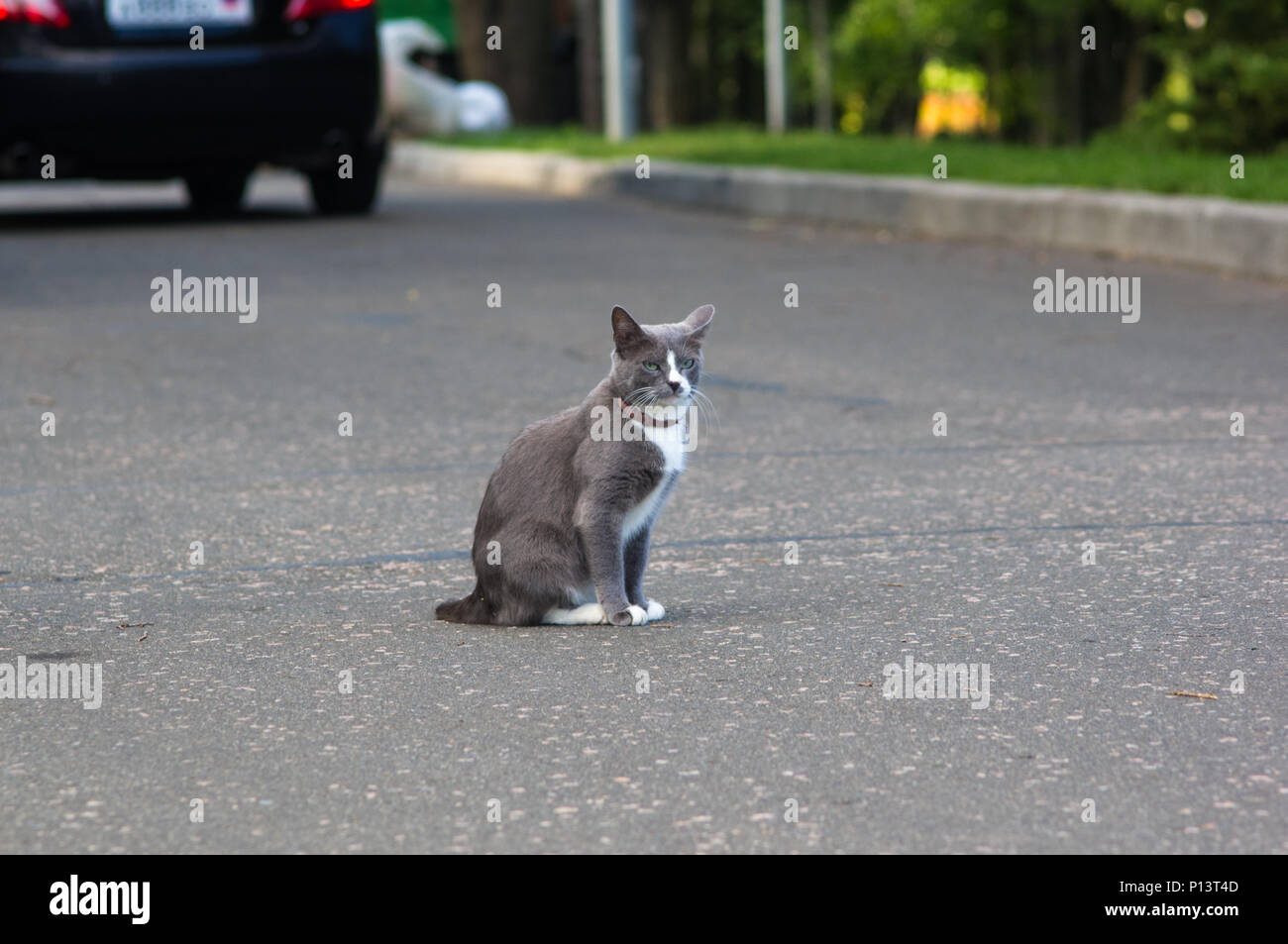 two-tone cat in anti-flea collar on the path of the city Park - Stock Image