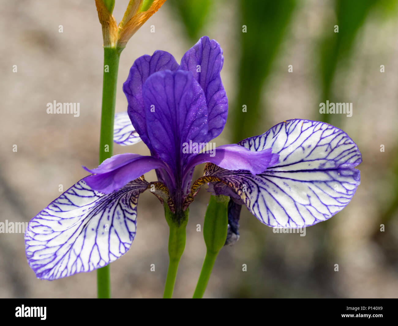 Blue netted falls and blue standards of the Siberian iris, Iris sibirica 'Flight of Butterflies' - Stock Image