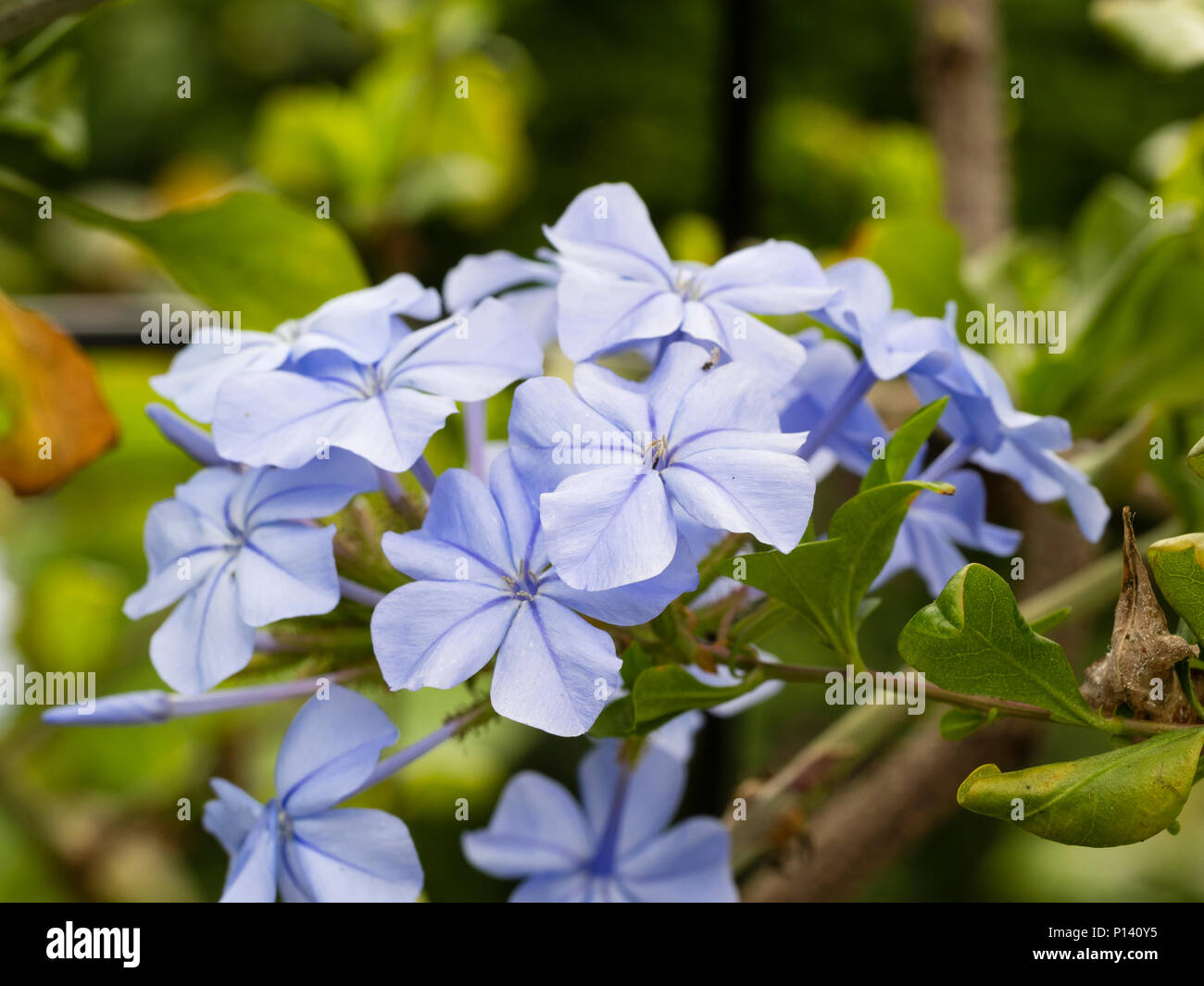 Pale blue flowers of the tender Cape figwort, Plumbago capensis, a tender scrambling shrub - Stock Image
