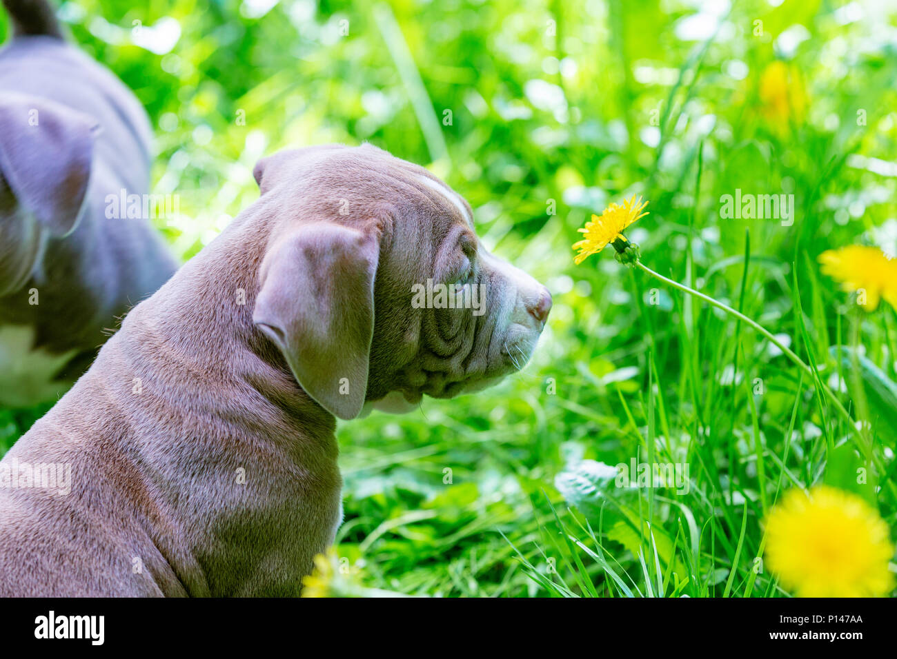 Cute Little Dogs Sitting Among Yellow Flowers In Green Grass In The