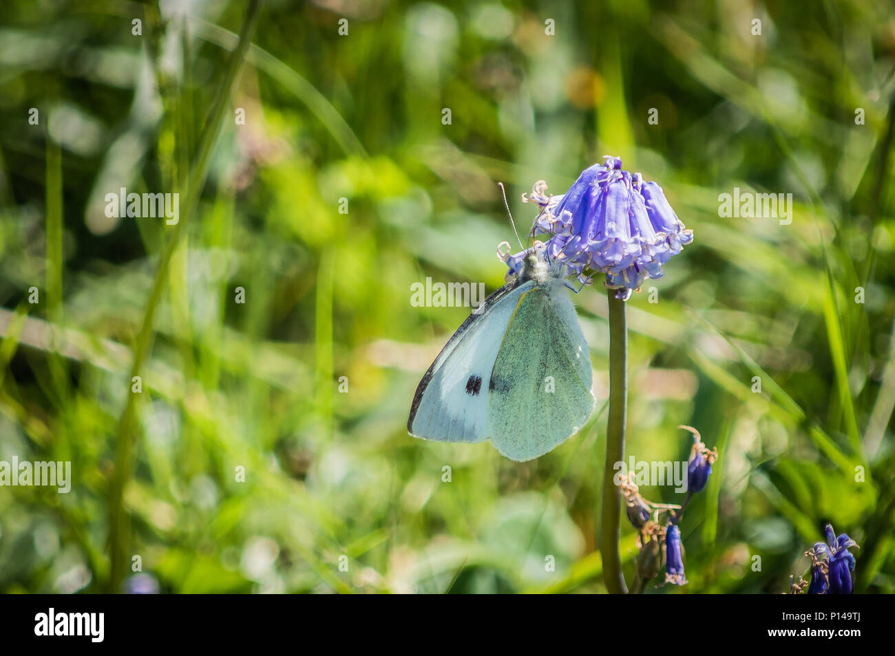 Large white butterfly hanging from a bluebell - Stock Image