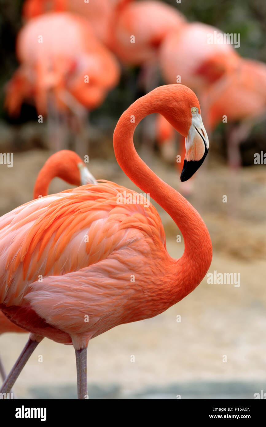 A solo flamingo is supported by a background of fellow birds. Stock Photo