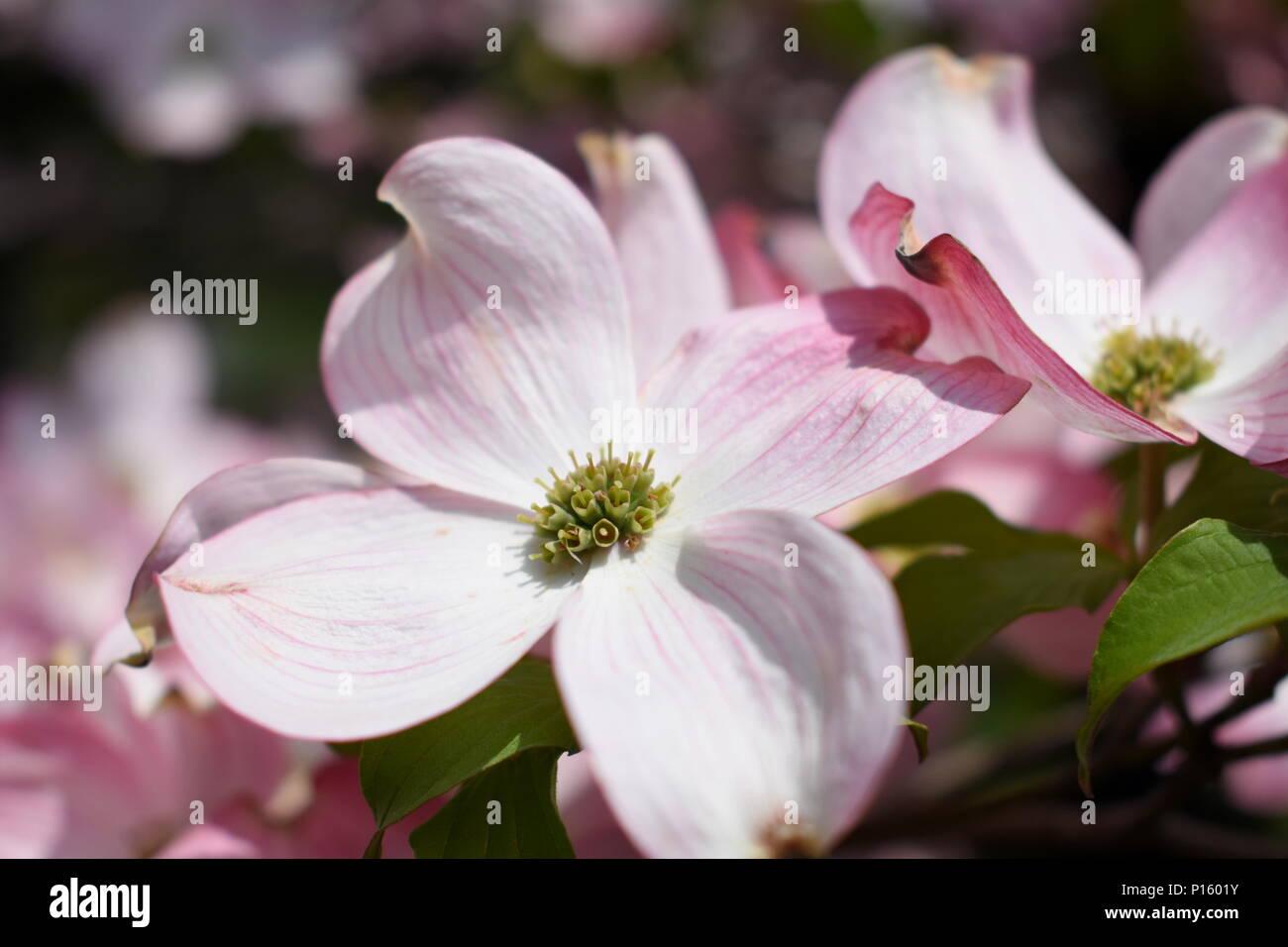Pink Dogwood Flower Stock Photo 207270839 Alamy