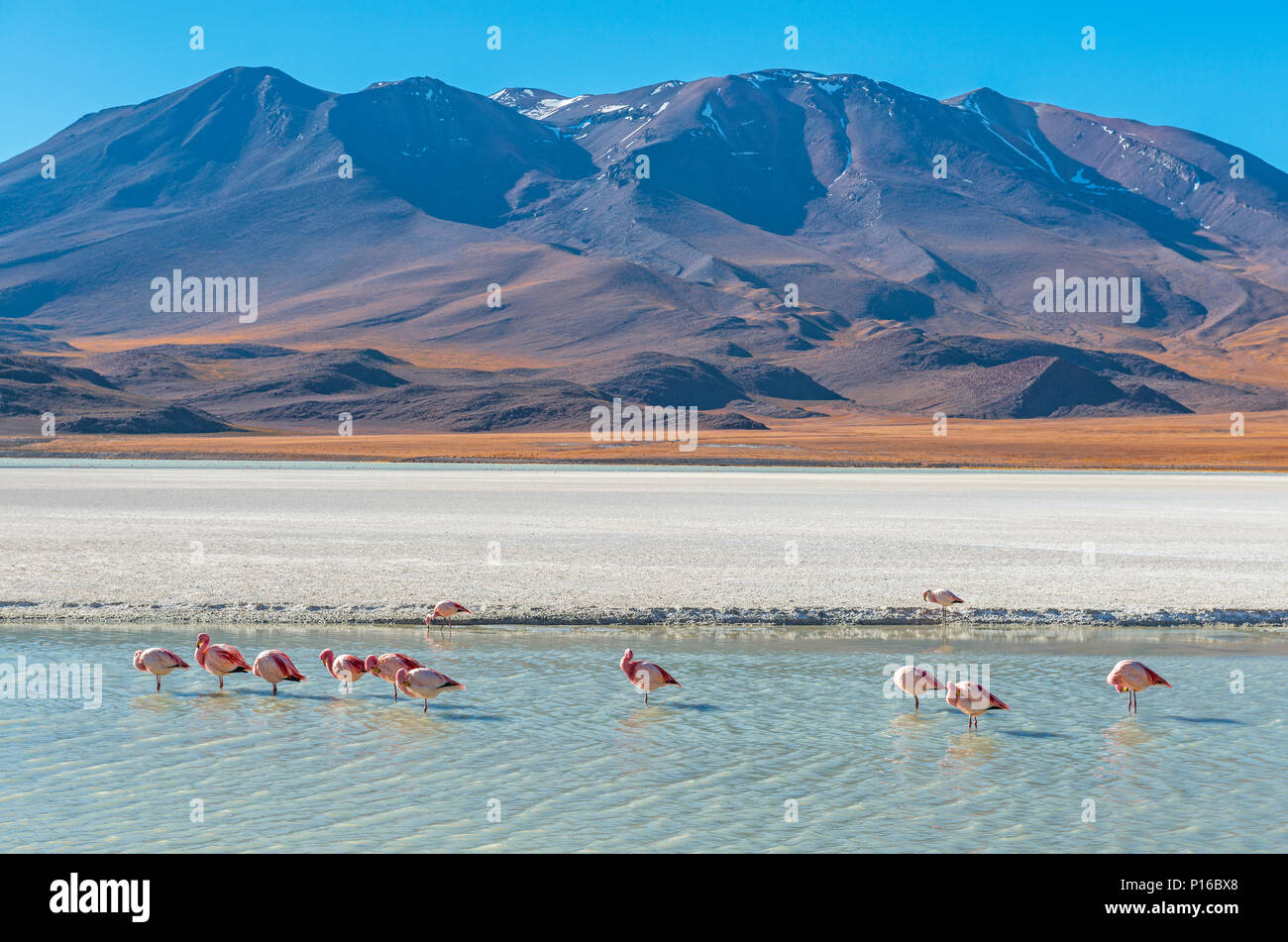 Landscape photograph with a few hundred James and Chilean flamingos in the Canapa Lagoon in the Andes mountain range near the Uyuni salt flat, Bolivia - Stock Image