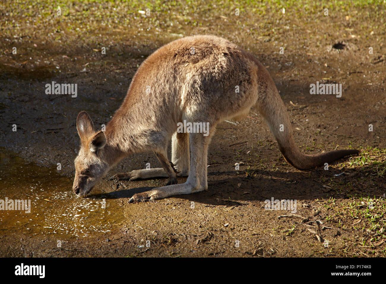 Grey Kangaroo (Macropus giganteus), Australia - Stock Image
