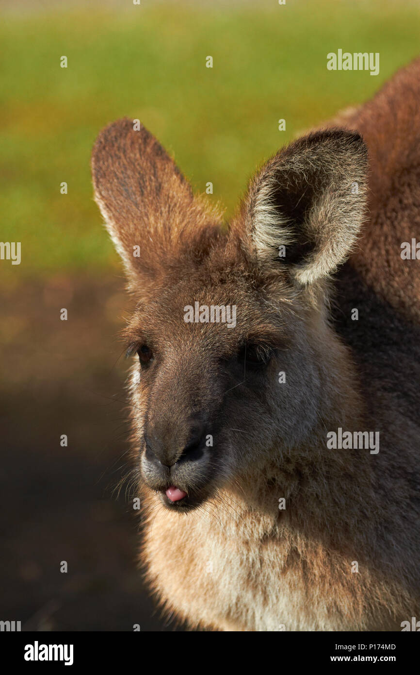 Grey Kangaroo (Macropus giganteus), Australia Stock Photo