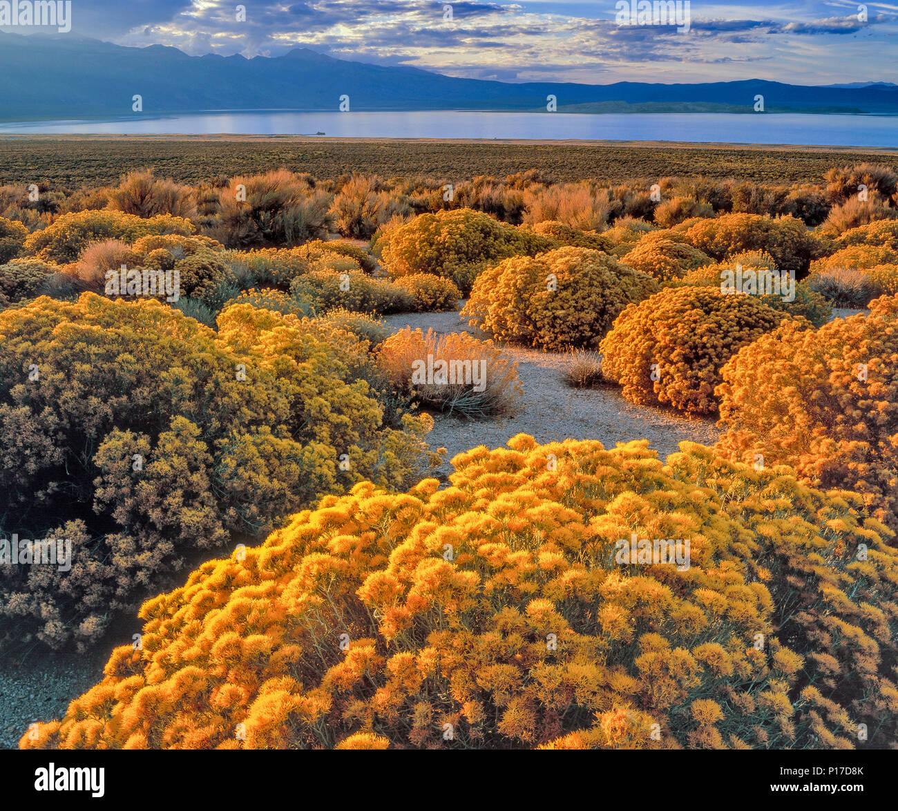 Last Light, Rabbitbrush, Ericameria nauseosa, Mono Lake, Mono Basin National Forest Scenic Area, Inyo National Forest, California - Stock Image